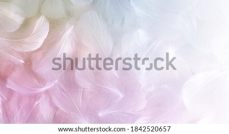 Angel Message Fluffy White Feathers Background - randomly scattered short white curly bird feathers with pastel colouring fading to white on right side ideal for angelic messages  Royalty-Free Stock Photo #1842520657