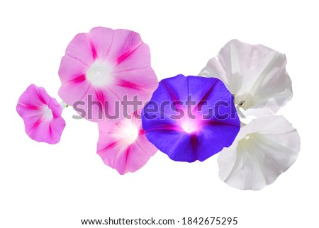 A colorful morning glory (ipomoea) flowers