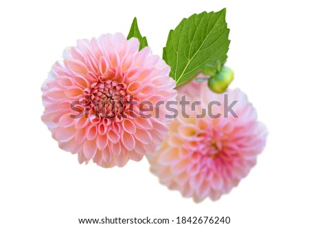 A pink dahlia flowers bunch isolated white