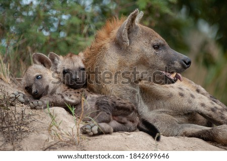 A female Hyena seen at a den site with her cubs on a safari in South Africa