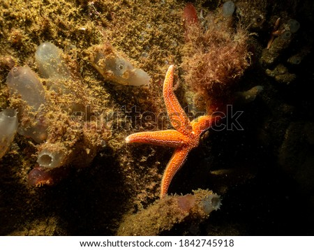 A closeup picture of a common starfish, common sea star or sugar starfish, Asterias Rubens. Picture from the Weather Islands, Skagerack Sea, Sweden