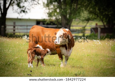 beef cow with days old calf on green grass meadow.  Royalty-Free Stock Photo #1842977224