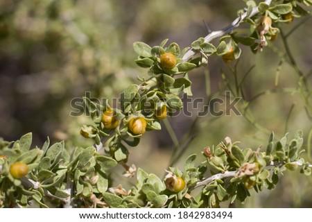 Yellow orange mature berry fruit of Peach Thorn, Lycium Cooperi, Solanaceae, native thorny hermaphroditic perennial deciduous woody shrub in Joshua Tree National Park, Southern Mojave Desert, Summer. #1842983494