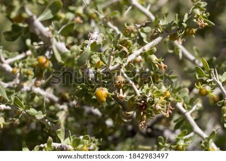 Yellow orange mature berry fruit of Peach Thorn, Lycium Cooperi, Solanaceae, native thorny hermaphroditic perennial deciduous woody shrub in Joshua Tree National Park, Southern Mojave Desert, Summer. #1842983497