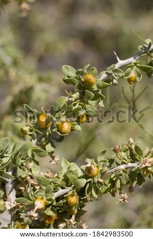 Yellow orange mature berry fruit of Peach Thorn, Lycium Cooperi, Solanaceae, native thorny hermaphroditic perennial deciduous woody shrub in Joshua Tree National Park, Southern Mojave Desert, Summer. #1842983500