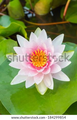 Beautiful waterlily or lotus flower in pond #184299854