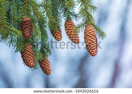 Green spruce branches with needles and many cones in winter. Many cones on spruce. Fir tree. Background image with copy space. Royalty-Free Stock Photo #1843026616