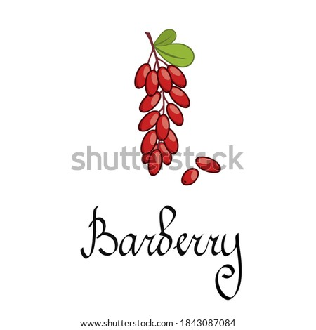 A branch of barberry. Forest berries and plants. The inscription barberry written by hand. Juicy red berry of the barberry for cooking with spices. Royalty-Free Stock Photo #1843087084