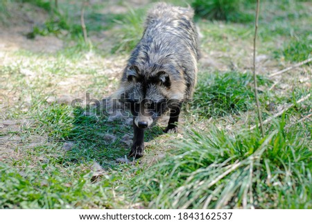 Fluffy raccoon dog with beautiful brown eyes in the biosphere reserve