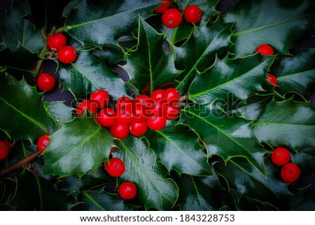 Christmas Holly red berries, Ilex aquifolium plant. Holly green foliage with mature red berries. Ilex aquifolium or Christmas holly. Green leaves and red berry Christmas holly #1843228753