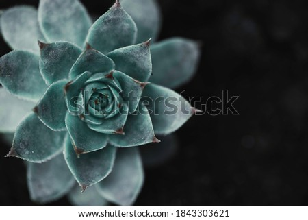 Succulent background. High quality texture of the succulent. Plant background. Selective focus. Royalty-Free Stock Photo #1843303621