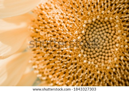 closeup of a sunflower with yellow petals and green leaves. yellow sunflower in the summer garden under the rays of the sun. closeup of a yellow textured sunflower core