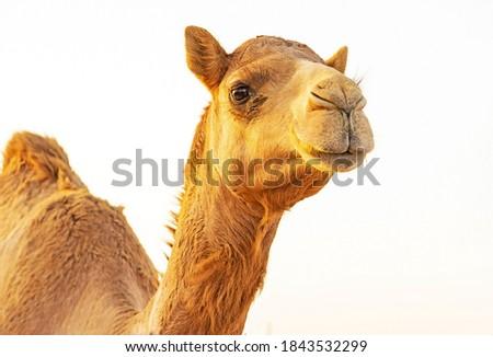 Camel Portrait From Al Dhafra Camel Festival Liwa Abu dhabi United Arab Emirates  Royalty-Free Stock Photo #1843532299