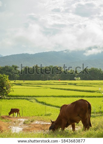 Two cows baby and mother grazing on a meadow, Green rice fields in the morning during and moutain background. Beautiful Asian landscape. Rural scenery under shining sunlight. Vertical picture.