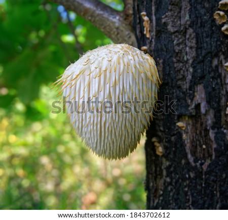 Lion's Mane mushroom on oak tree in the autumn forest. ( Hericium erinaceus )                               Royalty-Free Stock Photo #1843702612