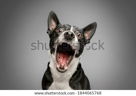 Studio Portrait of Funny and Excited, Bull Terrier Mixed Dog on Grey Background with Shocked / Surprised Expression and Open Mouth Royalty-Free Stock Photo #1844065768