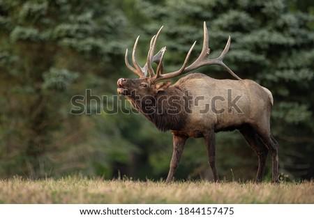 Bull Elk Rut in Autumn  Royalty-Free Stock Photo #1844157475