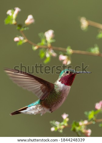 A broad-tailed hummingbird hovers mid-air amidst flowers in Colorado