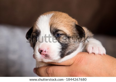 cute newborn puppy, welsh corgi pembroke breed