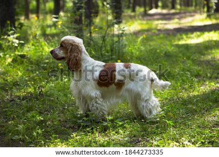 Summer. A park. A red and white English Cocker Spaniel stands on a green lawn. The background is blurred.  Royalty-Free Stock Photo #1844273335