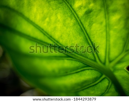 The Abstract of Pattern of  Buddha's Hand Leaf in The Garden