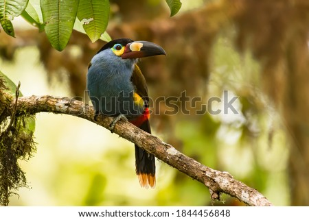 Plate-billed mountain toucan (Andigena laminirostris) a iconic toucan of Andean cloud forest in Mindo Valley, northwestern Ecuador