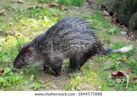 African brush-tailed porcupine (Atherurus africanus)