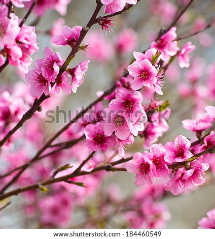 Blooming tree in spring with pink flowers #184460549