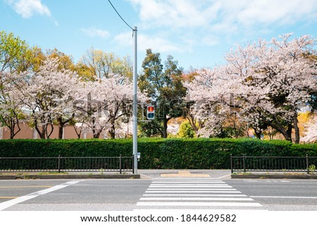 Crosswalk with cherry blossoms in Japan