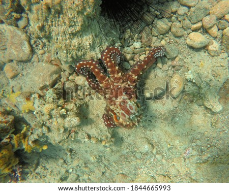 BUDDY. The picture shows a majestic octopus moving forward a sea urchin. The two friends are surrounded by the Israeli  coral reef.