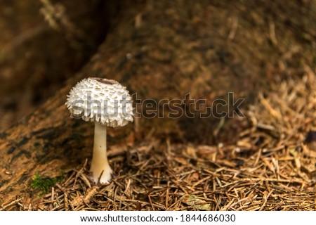 Young Parasol mushroom (macrolepiota procera) growing in forest. Edible mushroom. Royalty-Free Stock Photo #1844686030