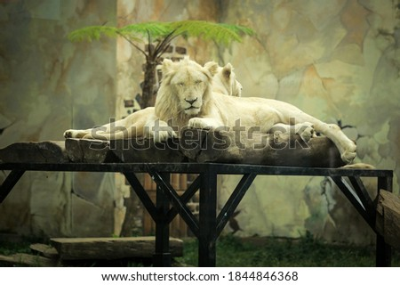 Male white lion. The white lions are a colour mutation of the Transvaal lion (Panthera leo krugeri), also known as the Southeast African or Kalahari lion. The white lion is resting in the cage. #1844846368