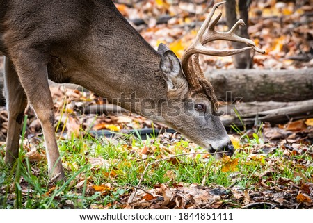 Whitetail buck smelling the ground during the rut.  Royalty-Free Stock Photo #1844851411