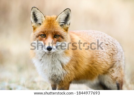 Beautiful red fox, vulpes vulpes, looking to the camera on meadow in winter. Calm orange predator standing on snow in close-up. Wild mammal watching on white field. Royalty-Free Stock Photo #1844977693