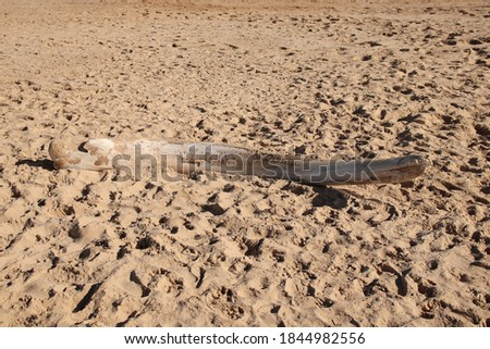 A humpback whale bone on beach sand.