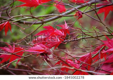 Beautiful red acer leaves on branches in fall. Acer is a commonly know as a maple tree and is placed in the family Sapindaceae. Background with space for text. #1845002278