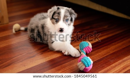 Border collie puppy with blue eyes. Front view. Border collie puppy playing. Biting toy for tooth pain. First teeth. Blue merle border collie Royalty-Free Stock Photo #1845049561