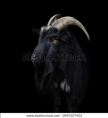 Black goat with big and curved horns on a black Royalty-Free Stock Photo #1845107422
