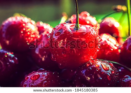 Ripe juicy cherries are only picked from a branch of a cherry tree. Water drops on fruit, cherry orchard after rain. Close-up. Sweet cherry background. Royalty-Free Stock Photo #1845180385