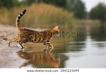Domestic Bengal cat hunting on the lake. Royalty-Free Stock Photo #1845223099