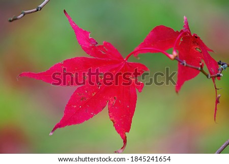 Beautiful but damaged red acer leaves on a branch in fall with de-focussed background. Acer is a commonly know as a maple tree and is placed in the family Sapindaceae. Background with space for text. #1845241654