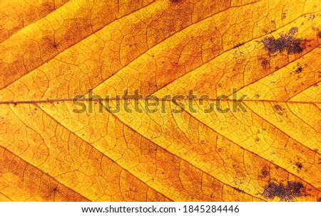 Autumn leaf. Detail of yellow autumn leaf. Macro background of colorful fall leaf.