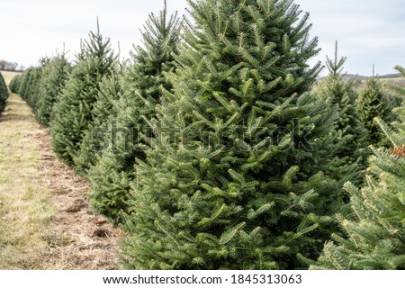 Christmas Trees in Rows at local Christmas Tree  Farm, Berks County, Pennsylvania Royalty-Free Stock Photo #1845313063