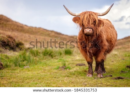 Scottish Highland Cow on the Isle of Skye, Scotland with copy space Royalty-Free Stock Photo #1845331753