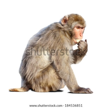 macaque (Macaca sylvanus). Isolated over white with shade #184536851