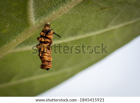The remains of a caterpillar that cannot be converted into a pupa.