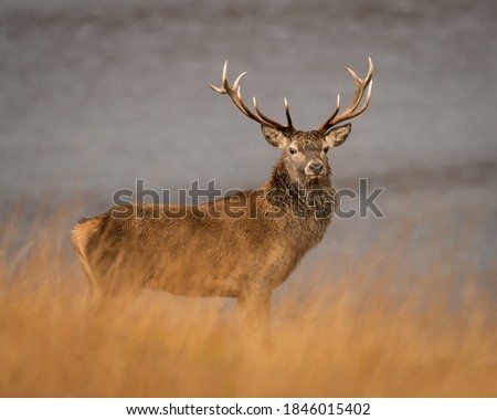 Wild Red deer stag Near Laggan in Cairngorm National Park, Highlands, Scotland. Royalty-Free Stock Photo #1846015402