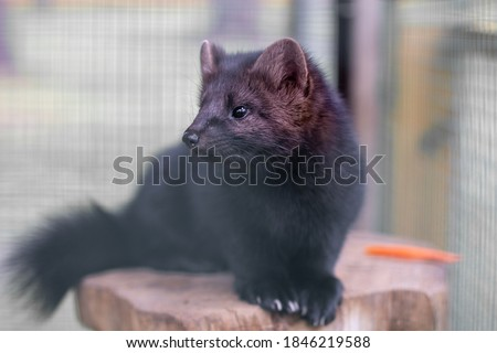 Small black animal European mink in a cage, behind bars. #1846219588