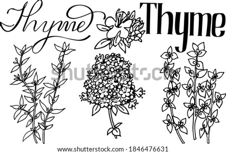 vector illustration of thyme. Herbs aromatic vector illustration. thyme vector icone. herbs image.  Aromatic herbs of italian cuisine. Lettering aromatic herbs thyme. black vector thyme  line art #1846476631