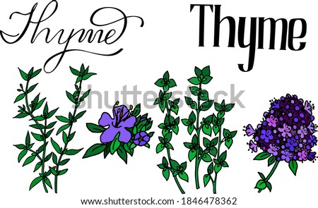 vector illustration of thyme. Herbs aromatic vector illustration. thyme vector icone. herbs vector image.  Aromatic herbs of italian cuisine. Lettering aromatic herbs thyme. colour thyme icone. #1846478362